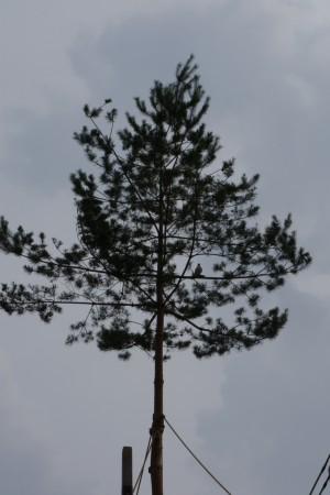 山にそびえる松の上は、昨年までは北観音山がハト、南観音山がオナガドリの木彫でした。 江戸時代の絵図の絵と説明文の「北観音山がオナガドリ、南観音山がハト」と逆で、さらに北観音山に伝わる古文書にもオナガドリが止まると書かれていたので本年からそれぞれの鳥が新調されて、入れ変わった。